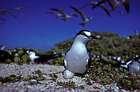 Sooty Tern on egg in colony, Tern I. French Frigate Shoals