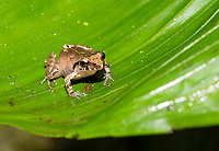 Bransford's Litterfrog or Robber Frog, Craugastor bransfordii, near Arenal Volcano National Park, La Fortuna, Costa Rica