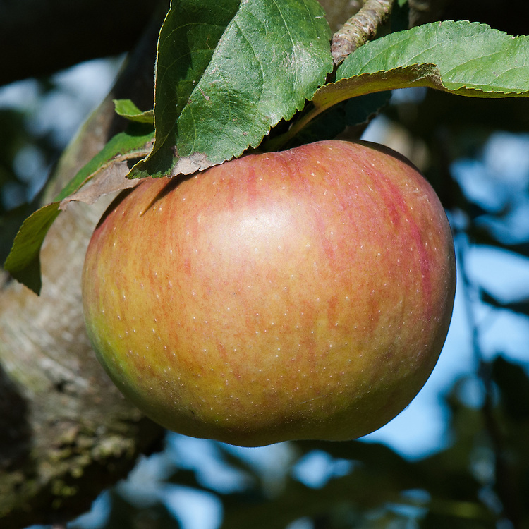 Apple 'Calville Malingre', late September. A French culinary apple of uncertain origin.