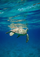 Hawksbill Turtle surfacing for air.Caneel Bay,  St John