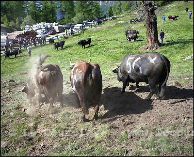 Moosalp, le 24.06.2004.Inalp les vaches de la race d'Erens en Valais, une fois le troupeau laché dans le paturage, celle-ci d'une manière instintive vont déterminer par une série de combats entre-elles qui sera la reine du troupeau. Les vaches restent dans le paturage 90 jours à une altitude de 2048 mètres..Moosalp, le 24.06.2004.Inalp les vaches de la race d'Erens en Valais, une fois le troupeau laché dans le paturage, celle-ci d'une manière instintive vont déterminer par une série de combats entre-elles qui sera la reine du troupeau. Les vaches reste dans le paturage 90 jours à une altitude de 2048 mètres..© J.-P. Di Silvestro / Le Courrier