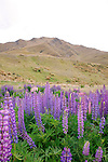 Lupins, Lindis Pass, New Zealand