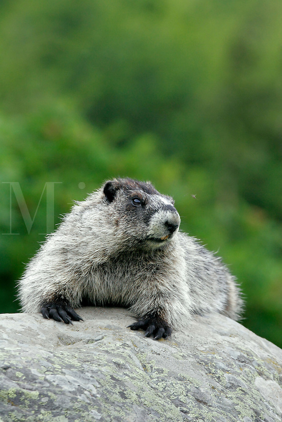 hoary marmot (Marmota caligata) along the Harding Icefield trail, near Exit Glacier, Kenai Fjords National Park, Alaska