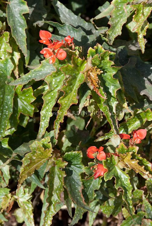 Begonia Lois Burks, cane stem type in bloom
