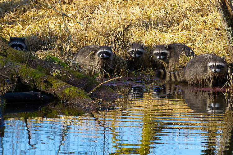 Five raccoons known as a gaze of raccoons are staring at viewer along a stream bank during a sunny, blue sky day with yellow grass in the background and the reflection of the trees and blue sky in the ripples of the stream water in the foreground
