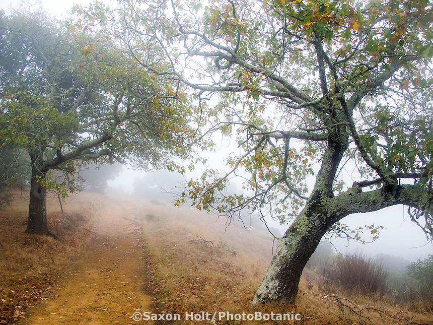 Path through autumn hills with Oaks -Foggy November morning on Cherry Hill, Novato