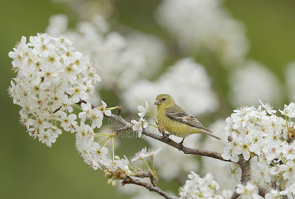 Lesser Goldfinch (Carduelis psaltria), female perched on blooming pear tree (Pyrus sp.), Hill Country, Texas, USA