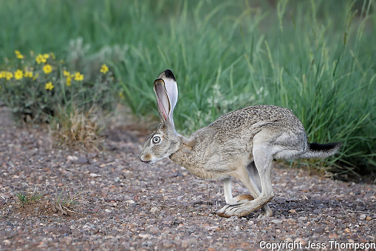 Jackrabbit running along roadside west of Fort Davis, Texas