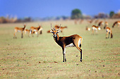 Lukulu Game Management Area, Zambia. Wildlife game reserve; Lechwe deer.