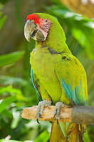 Buffin's or great green macaw, Ara ambigua. Captive at Zoo Ave, a zoo near San Jose, Costa Rica, specializing in native birds.