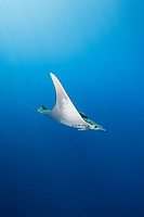 WQ1701-D. Sicklefin Devil Ray (Mobula tarapacana), also called Chilean devil ray. Found worldwide in tropical to warm temperate seas, often seen near the surface down to 100 feet deep, usually offshore, solitary or in groups. Azores, Portugal, Atlantic Ocean.<br /> Photo Copyright © Brandon Cole. All rights reserved worldwide.  www.brandoncole.com