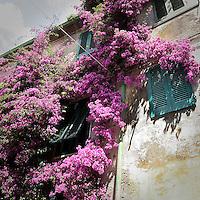 Una pianta di glicine sulla facciata di una casa a Capoliveri sull'Isola d'Elba..A wisteria tree on a house facade in Capoliveri, an ancient village on Elba Island