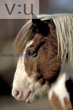 Head of a Chincoteague Pony, Assateague National Wildlife Refuge, Maryland, USA.