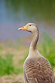 Greylag Goose (Anser anser) looking over its back, against a background of reeds and water.