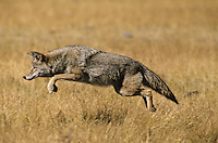 Coyote (Canis latrans) pouncing on vole. Western U.S. Fall