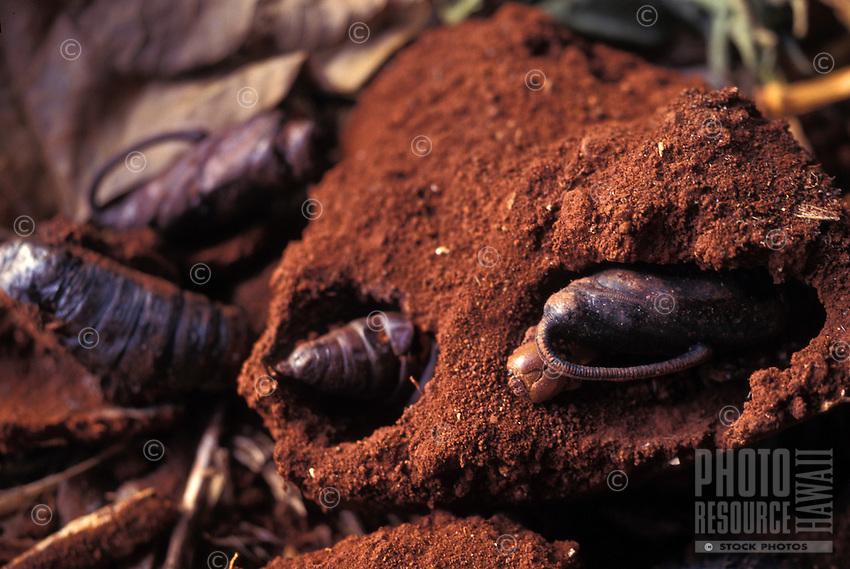 Endangered Aiea hawk moth pupa in soil (Manduca blackburni), originally found on all islands