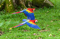 scarlet macaw, Ara macao, flying, Alajuela Province, Costa Rica, Central America