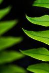 Bellevue Botanical Garden with  close up of plants fern cyrtomium fortunei Bellevue Washington State USA