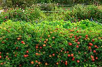 France, Sarthe (72), Le Lude, château et jardins du Lude, le potager, tagètes