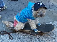 NEW YORK, NY - JANUARY 12: Shaggy/Coqui the skateboarding dog at the start of the No Pants Subway Ride NYC 2020 in New York, New York on January 12, 2020 2019.  <br /> CAP/MPI/RMP<br /> ©RMP/MPI/Capital Pictures
