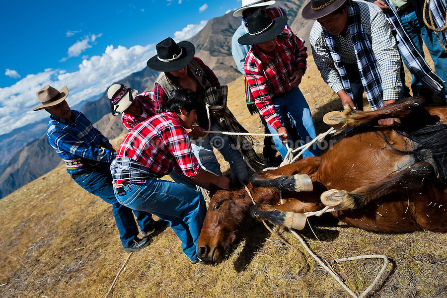 Peruvian peasants tie up a horse during a ceremony prior to the Yawar Fiesta, a ritual fight between the condor and the bull, held in the mountains of Apurímac, Cotabambas, Peru, 28 July 2012. The Yawar Fiesta (Feast of Blood), an indigenous tradition which dates back to the time of the conquest, consists basically of an extraordinary bullfight in which three protagonists take part - a wild condor, a wild bull and brave young men of the neighboring communities. The captured condor, a sacred bird venerated by the Indians, is tied in the back of the bull which is carefully selected for its strength and pugnacity. A condor symbolizes the native inhabitants of the Andes, while a bull symbolically represents the Spanish invaders. Young boys, chasing the fighting animals, wish to show their courage in front of the community. However, the Indians usually do not allow the animals to fight for a long time because death or harm of the condor is interpreted as a sign of misfortune to the community.