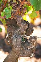 A 50 year old Semillon vine - Chateau Haut Bergeron, Sauternes, Bordeaux