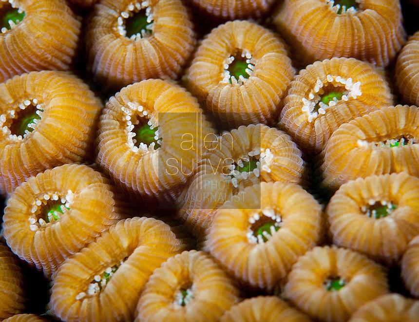 Great star coral (Montastraea cavernosa); Roatan, Honduras.