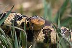 Western fox snake