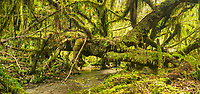 Old tree in rainforest with stream, Westland Tai Poutini National Park, UNESCO World Heritage Area, West Coast, South Westland, New Zealand, NZ