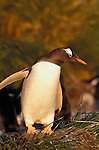 Gentoo penguin, Falkland Islands