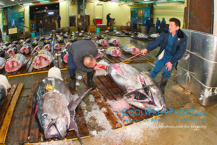 intermediate buyer, checking quality of raw bluefin tunas, Thunnus sp., before auction, Tsukiji Fish Market or Tokyo Metropolitan Central Whalesale Market, the world's largest fish market  hadling over 2500 tons and over 400 different kind of fresh sea food per day