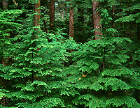 67ORCAC_006 - USA, Oregon, Willamette National Forest, Middle Santiam Wilderness, Spring growth of western hemlock saplings in old-growth forest.