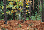Woodland in autumn, Russia; mixed forest, pine, birch, oak