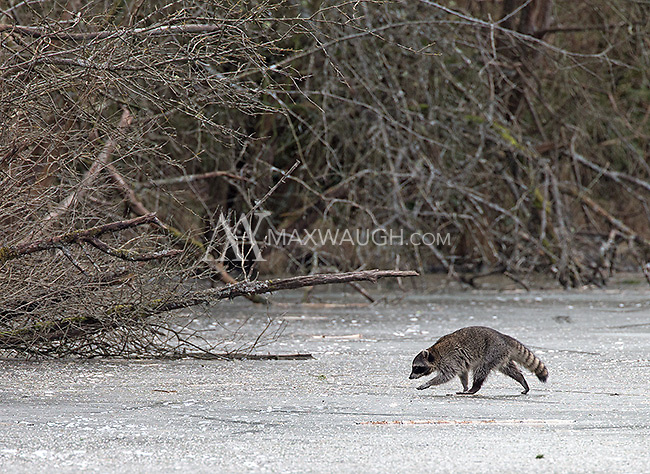 A solitary raccoon crossed the ice at the Reifel Bird Sanctuary.