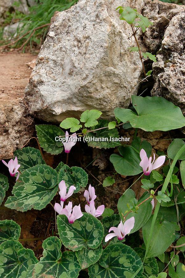 Israel, Carmel. Cyclamen persicum in Wadi Oren