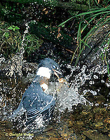 KG03-062x  Belted Kingfisher - male diving for fish in stream, caught fish, flying out - Megaceryle alcyon
