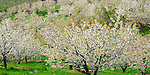 Wasco County, OR   <br /> Cherry orchards in blossom on rolling hills near Mosier