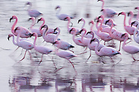 Pan-blur of a group of moving lesser flamngos.