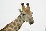 A giraffe licks his chops.  <br /> <br /> Hwange National Park, Zimbabwe