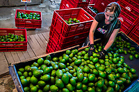 A Colombian farm worker sorts out avocados into crates at a farm facility near Sonsón, Antioquia department, Colombia, 21 November 2019. Over the past decade, the Colombian avocado industry has experienced massive growth, both as a result of general economic development in Colombia, and the increased global demand for so-called superfood products. The geographical and climate conditions in Antioquia (high altitude, no seasonal extremes, high precipitation rate) allow two harvest windows of the Hass avocado variety across the year. Although the majority of the Colombian avocado exports are destined towards Europe now, Colombia aspires to become one of the major avocado suppliers to the U.S. market in the near future.