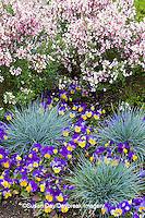 63821-22516 Blue Fescue grass (Festuca glauca 'Elijah Blue'), Viola (Viola 'Sorbet Yellow Frost'),  Lilac Time Broom (Cytisus x minstead 'Dilmoreii hybrids Lilac Time') Chicago Botanic Garden Glencoe, IL