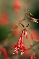Europe/Provence-Alpes-Côte d'Azur/83/Var/Bormes-les-Mimosas: La traverse des Troubadours - Détail flore: Zauschneria Californica
