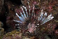Lionfish, invasive species in the Bahama Islands