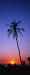 Coconut palm silhouetted at sunset, Goa; India