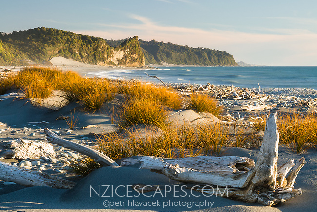 Native sand dune grass Pingao, Ficinia spiralis, on Three Mile Beach near Okarito, Westland Tai Poutini National Park, West Coast, UNESCO World Heritage Area, New Zealand, NZ