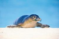 Hawaiian monk seal Monachus schauislandi endangered, note whiskers, Midway Atoll, Papahanaumokuakea Marine National Monumen, Northwestern Hawaiian Islands, Papahanaumokuakea Marine National Monument, Hawaii, USA, Pacific Ocean