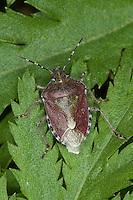 Beerenwanze, Dolycoris baccarum, sloe bug, sloebug
