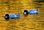 BIRDS ON GOLDEN POND