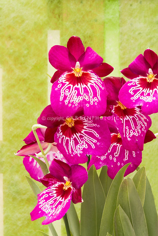 Miltoniopsis dark pink against green wall Miltonia waterfall type orchid hybrid , Miltoniopsis Newton Falls, hybrid