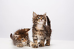 Judi - Birman and Maine Coon Kittens